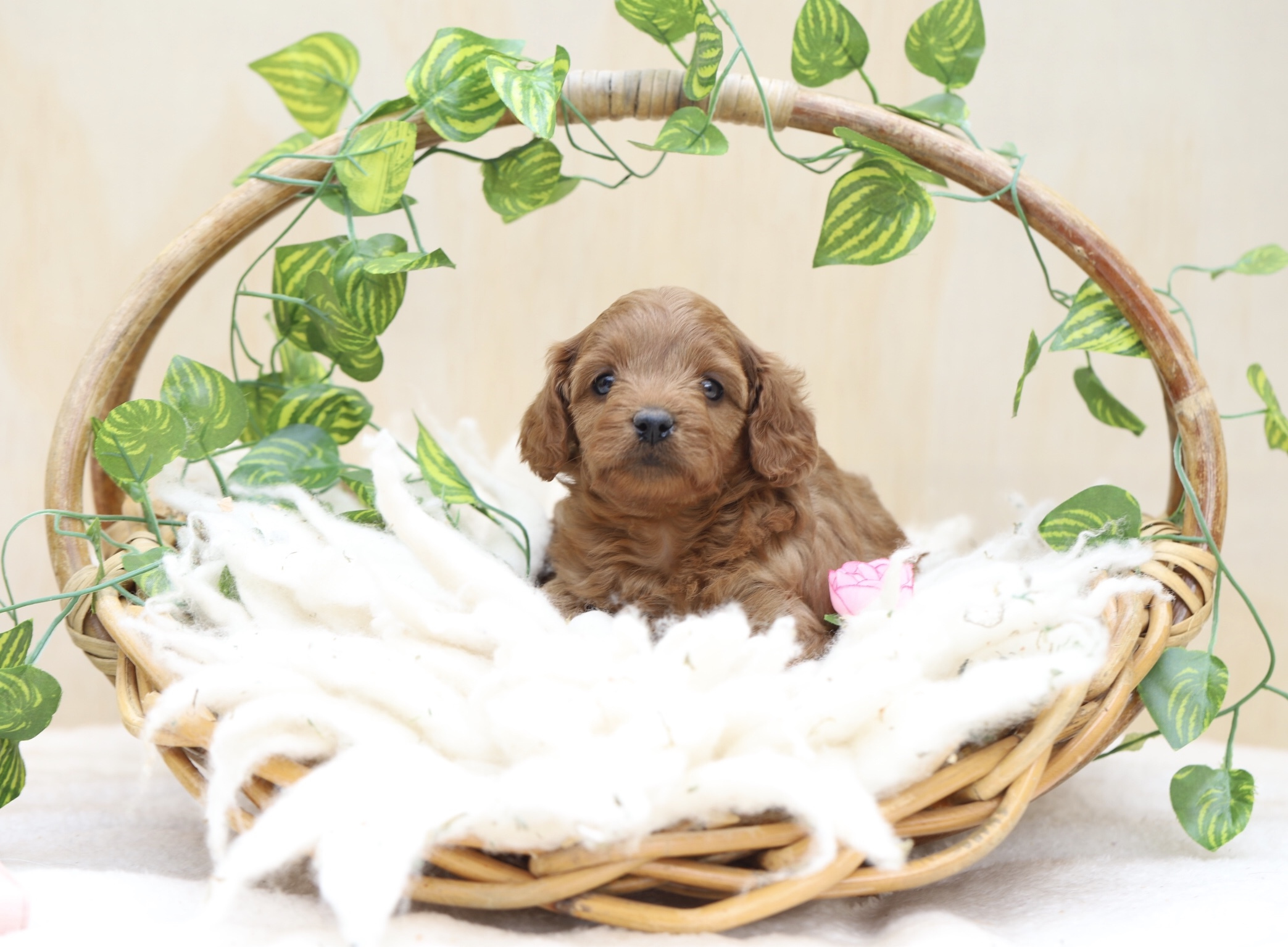 ethical breeder of cavoodles