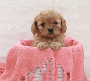We specialise in breeding quality cavoodles
