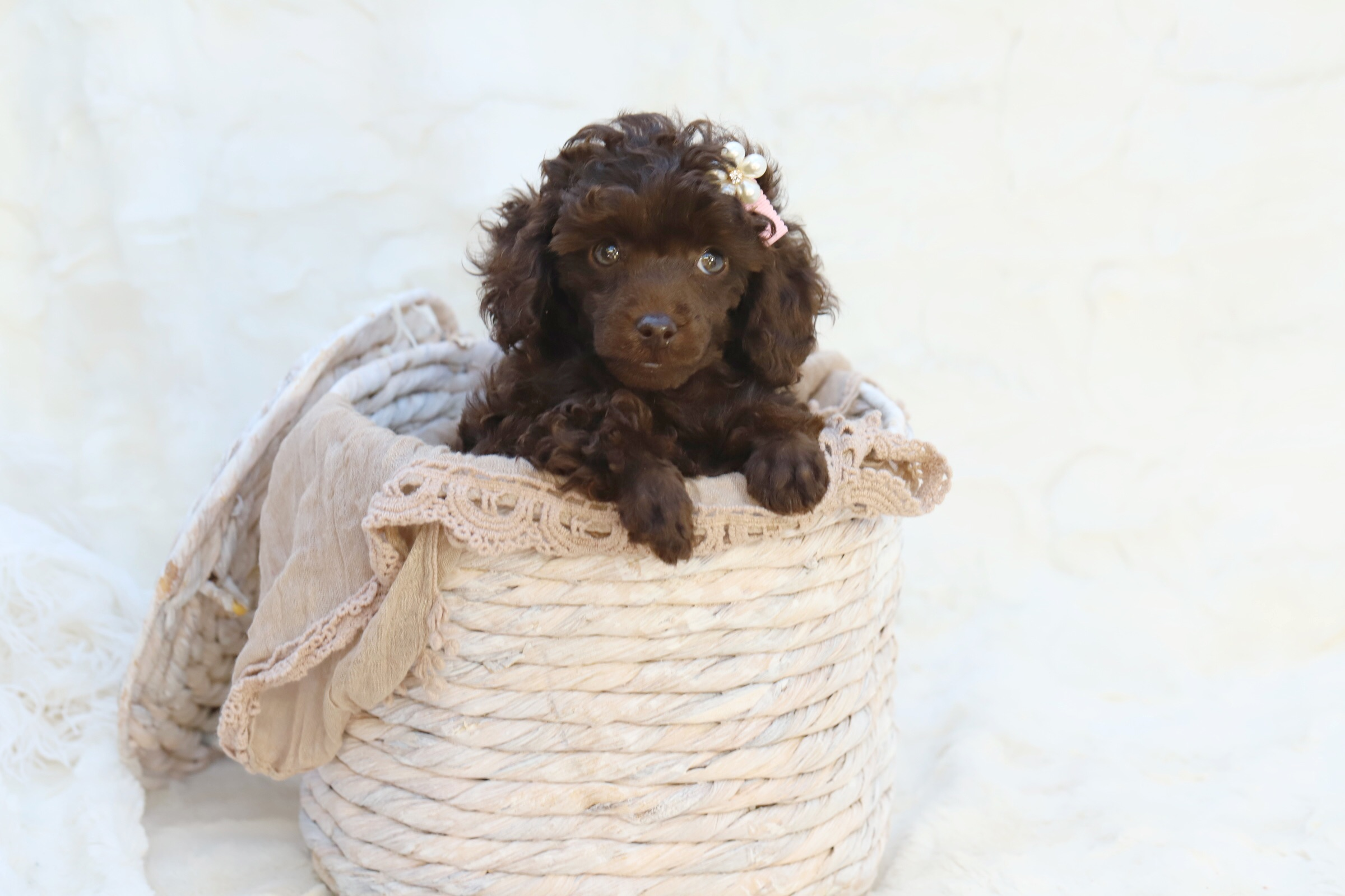Introducing Your New Puppy To Other Animals Captivating Cavoodles