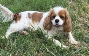 "Blenheim cavalier ""Carol"", is a delightful girl. She is playful, happy  and lives to please."
