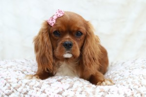 Cordelia is our stunning ruby cavalier. She is gentle, and sweet natured. loving nohting more than to be cuddled all day. she adores everyone, people and animals alike.
