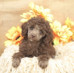 Bear is our stunning chocolate toy poodle. He will weigh about 2.6kg fully grown and is full of personality. He is cheeky, fun loving, adorable and charms everyone with his winsome nature.