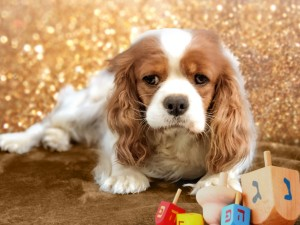 Gorgeous Chloe Our Blenheim cavalier. She is a quiet, easy going, loyal and incredibly affectionate little girl with a need to be with us always.
