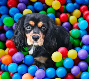 Melody our beautful Black and Tan Cavalier. She is mischievous and adventurous. She loves to explore, play in the sand pit, chase balls and swim, then promplty cuddle on a lap. Shes a delightful girl who loves everyone.