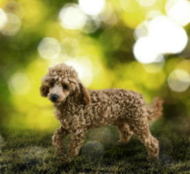 """""""Bluey"""", red toy poodle. He is incredibly inteligent and loves to please. He loves everyone and demands attention."""