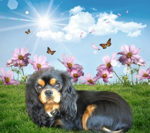 Clarity is our beautiful Black and Tan cavalier. She is a gorgeous girl with a delightful nature. She is incredibly affectionate and loyal.