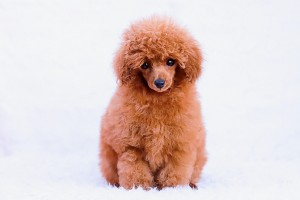 Teddy is our new stunnng red toy poodle. He is expected to grow no bigger than 2.5kg, so with his cheeky outoing natiure and tiny size he will be an asset to our family and breeding