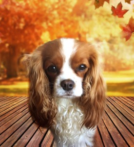 """Promise"" blenheim cavalier king charles spaniel belongs to our oldest daughter and is totally attached to her. She sits and wait patiently whenever our daughter is away, and the joful exuberant welcome is heard by all when she returns. Shes gentle and sweet matured."