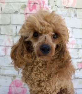 """Polly"" red toy poodle, is intelligent, loyal and devoted little gir. She loves to be right by our side all day long if possible, and certainly loves her creature comforts."